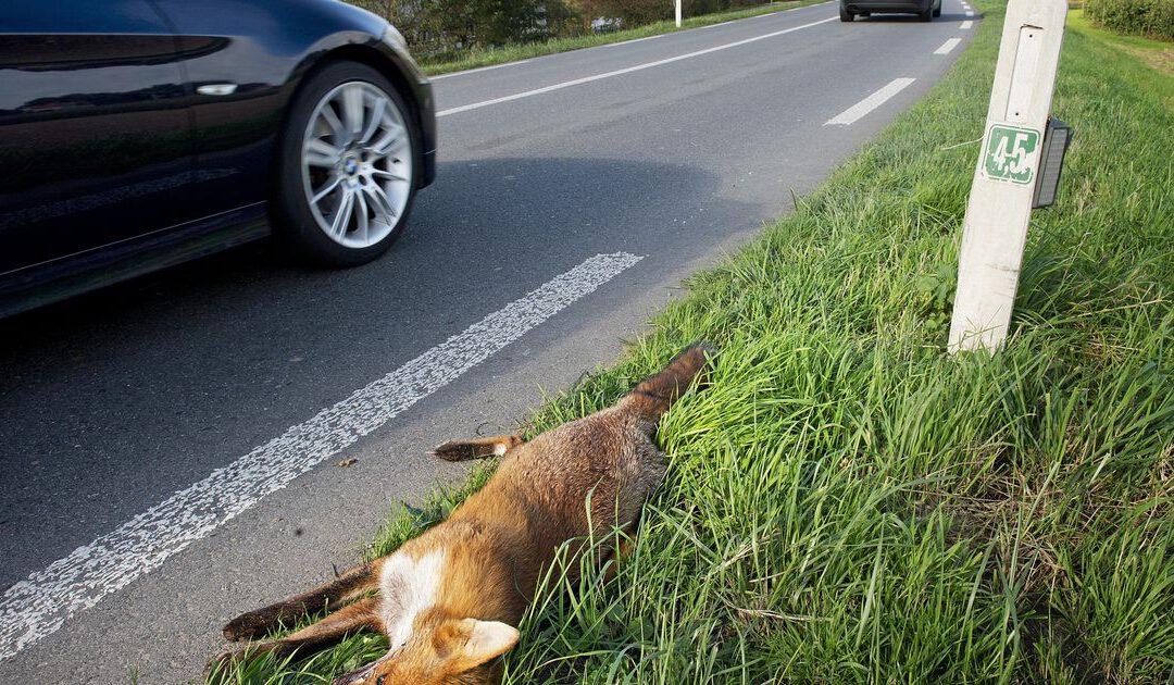 Wildaanrijdingen doen verzekeraars steeds meer pijn