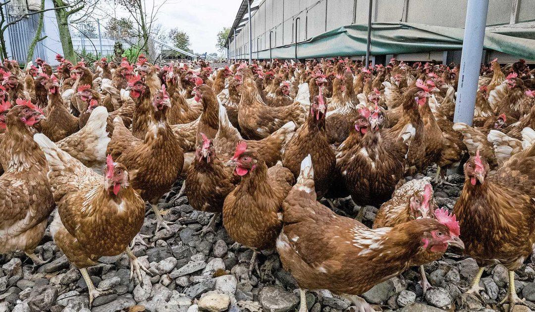 Vrije uitloop uit de gratie: consument kiest scharrel- of bio-eieren voor zijn geld